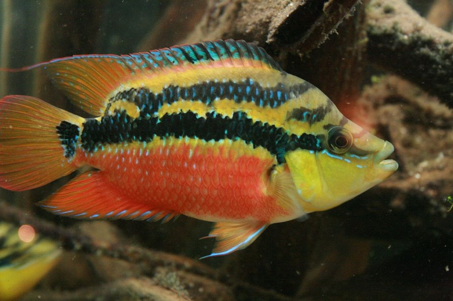 Is Salvini Cichlid Fishes Good For Aquarists?